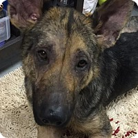 German Shepherd Dog Dog for adoption in Cary, North Carolina - Ash