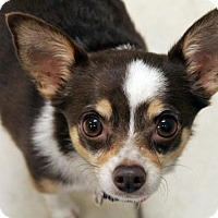 Adopt A Pet :: Zoe the Office Dog - Waco, TX