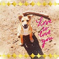 Adopt A Pet :: SHAMOA - Sweet Girl! - Chandler, AZ