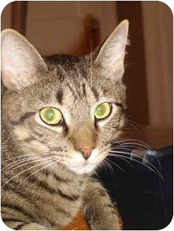Domestic Shorthair Cat for adoption in Chesapeake, Virginia - Gringo & Gomez