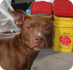 American Pit Bull Terrier/American Pit Bull Terrier Mix Dog for adoption in Brooklyn, New York - Hazel