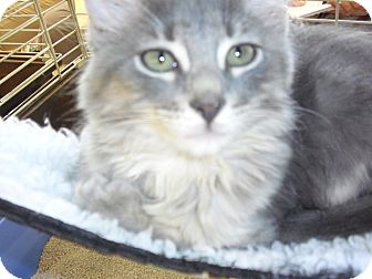Domestic Mediumhair Kitten for adoption in Fairborn, Ohio - Grey Kitties