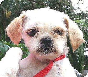 Shih Tzu Dog for adoption in Orlando, Florida - Biscuit