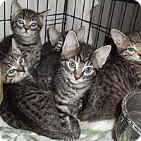 Adopt A Pet :: Tiger Kittens - Acme, PA