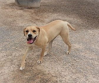 Labrador Retriever/Boxer Mix Dog for adoption in Las Vegas, Nevada - Indie