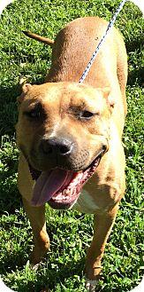 Pit Bull Terrier Dog for adoption in Cincinnati, Ohio - Tiffany