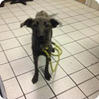 Mountain Cur Italian Greyhound Mix Dog For Adoption In Jersey City New Jersey Cecily Strong