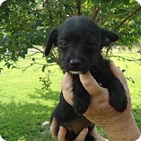Adopt A Pet :: Carma - Plainfield, CT