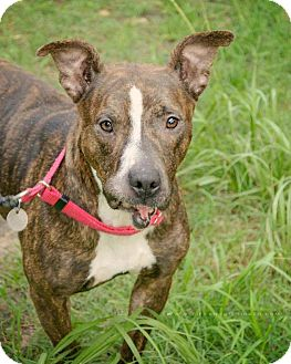 American Staffordshire Terrier Mix Dog for adoption in Austin, Texas - Pebbles