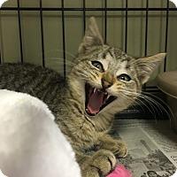 Adopt A Pet :: Dill - Island Park, NY
