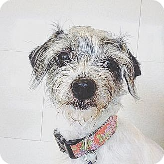 Yorkie, Yorkshire Terrier Mix Dog for adoption in Orange, California - Nalah