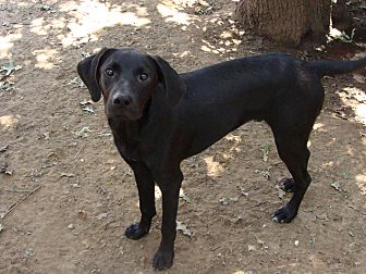 Labrador Retriever/Hound (Unknown Type) Mix Dog for adoption in Blanchard, Oklahoma - Elvis
