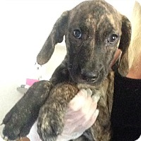 Adopt A Pet :: Gisele Brindle - Pompton lakes, NJ