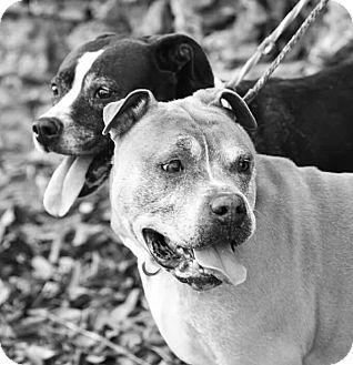 Pit Bull Terrier Mix Dog for adoption in St. Louis, Missouri - Romeo & Juliet
