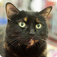 Domestic Shorthair Cat for adoption in Great Falls, Montana - Black Jack