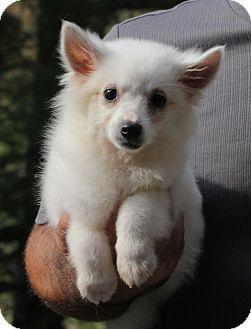 Eskimo Spitz Puppy for adoption in Wheeling, West Virginia - Spice