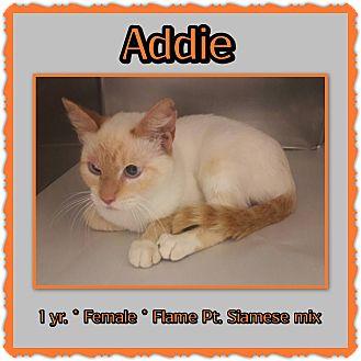 Siamese Cat for adoption in Richmond, California - Addie
