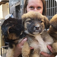 Adopt A Pet :: Janie's Pups - St John, IN