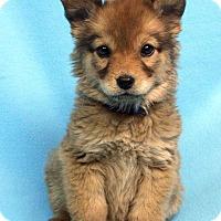Adopt A Pet :: SAHARA - Westminster, CO