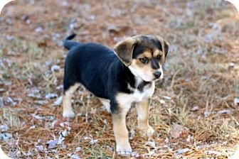 Shepherd (Unknown Type) Mix Puppy for adoption in Andover, Connecticut - PUPPY MOONBEAM