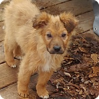 Adopt A Pet :: Commander - Hainesville, IL
