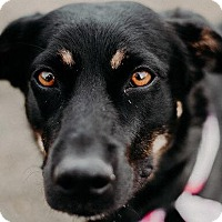 Adopt A Pet :: Knox - Overland Park, KS