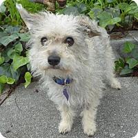 Adopt A Pet :: Miny Moo BB - Seattle, WA