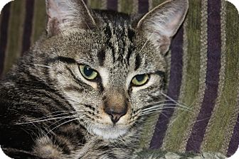 Domestic Shorthair Cat for adoption in Little Falls, New Jersey - Grover (LE)
