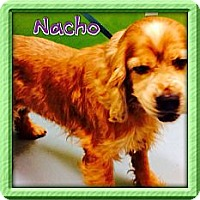 Adopt A Pet :: Nacho - Los Angeles, CA