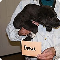 Adopt A Pet :: Beau - Conway, AR