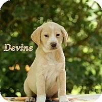 Adopt A Pet :: Devine - Kingwood, TX
