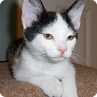 Adopt A Pet :: Daisy - Merrifield, VA