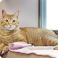 Domestic Shorthair Cat for adoption in Carencro, Louisiana - Cheyenne