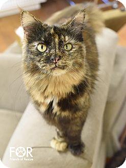Domestic Mediumhair Cat for adoption in Marietta, Georgia - Amy