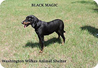 Black and Tan Coonhound Mix Dog for adoption in Washington, Georgia - Black Magic