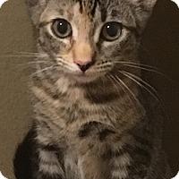 Adopt A Pet :: Katie - Garland, TX