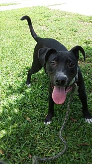 Catahoula Leopard Dog/American Staffordshire Terrier Mix Dog for adoption in Olympia, Washington - Belle