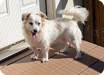 Sheltie, Shetland Sheepdog/Terrier (Unknown Type, Medium) Mix Dog for adoption in Potomac, Maryland - Tiger Lily ADOPTION PENDING!
