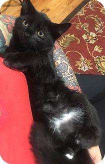 Domestic Shorthair Cat for adoption in Toms River, New Jersey - Blossom