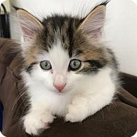 Adopt A Pet :: Felix (pending) - San Francisco, CA