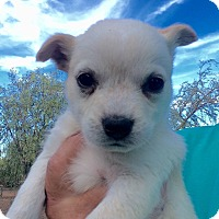 Adopt A Pet :: Regan - Cave Creek, AZ