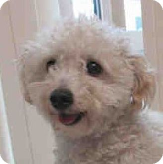 Bichon Frise/Poodle (Miniature) Mix Dog for adoption in Placentia, California - Brody