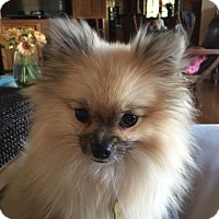 Pomeranian Dog for adoption in Beverly Hills, California - POET