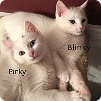 Adopt A Pet :: Blinky - N. Billerica, MA