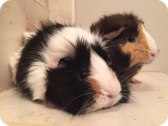 Guinea Pig for adoption in Grand Rapids, Michigan - Grace & Jackie