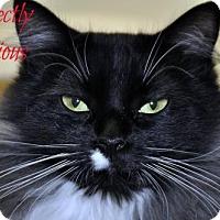 Domestic Mediumhair Cat for adoption in Alexandria, Virginia - Precious 2016 II