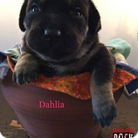 Adopt A Pet :: Dahlia - New York, NY