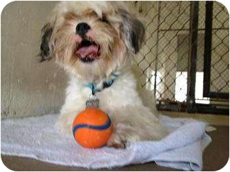 Shih Tzu/Lhasa Apso Mix Dog for adoption in Winter Haven, Florida - Mikey