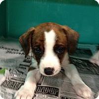 Adopt A Pet :: Georgia - CHESTERFIELD, MI