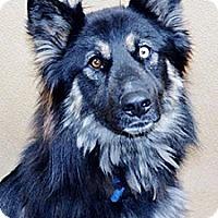 Adopt A Pet :: Koda - Mill Creek, WA